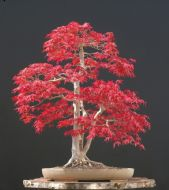 Japanese Maple Small Leaf 5 Seeds (Acer Palmatum)- Rare
